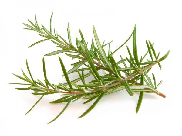 Rozmarin bitkisinin  FAYDASI : mütəxəssis fikri