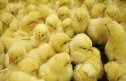 Zibilliyə atılmış yumurtalardan minlərlə cücə çıxdı