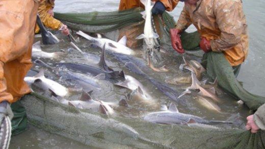 Bu balıqların ovlanmasına görə CƏRİMƏLƏR ARTIRILDI